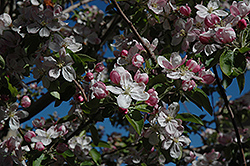Ambrosia Apple (Malus 'Ambrosia') at Art Knapp Plantland