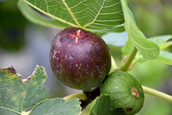 Brown Turkey Fig (Ficus carica 'Brown Turkey') at Art Knapp Plantland